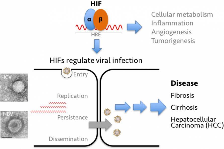 Hif Regulation